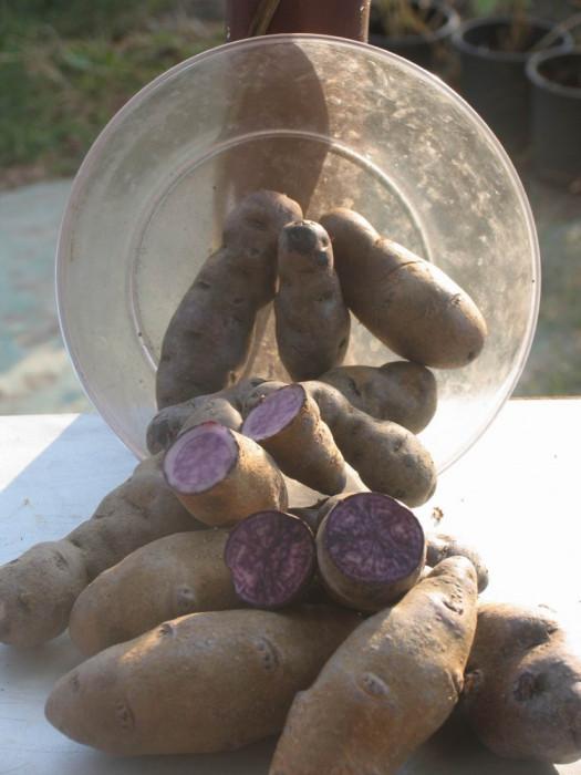 Cartofi mov de samanta si consum foto mare