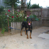 Caine, Rottweiler - Vand Rottweiler