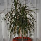 Plante ornamentale - Dracaena