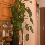 Plante ornamentale - Dieffenbachia, planta decorativa de interior