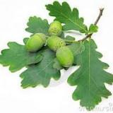 Arbori ornamentali stejar, fag, carpen, tei, mojdrean, salcam