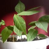 Asimina triloba sau Pawpaw - Arbusti fructiferi