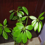 Plante ornamentale de apartament Arbore de Cauciuc ()