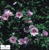 Plante ornamentale - HIBISCUS 2-3 Ani OFERTA !!