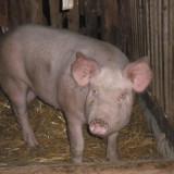 Porci pentru Craciun - Rase porci