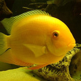 Pesti chiclasoma severum gold - Acvariu, 110-120