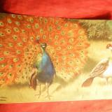 Ilustrata inc. sec.XX - Pauni , semnata , color