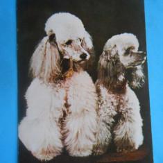 Carti Postale Romania dupa 1918, Necirculata - HOPCT14806 CANICHE / LOT CAINI / [NECIRCULATA ]