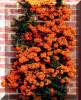 PIRACANTA - Pyracantha 'Orange Glow' - 9 lei