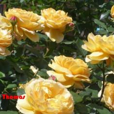 Butasi trandafiri si pomi fructiferi ( piersici)