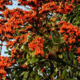 Seminte rare de Butea Monosperma -Focul Padurii - 2 seeminte pt semanat