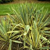 Yucca filamentosa Bright Edge – iuca