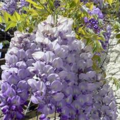 Flori - Seminte de salcam catarator glicina