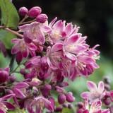 Deutzia hybrida Strawberry Fields – Deutia roz