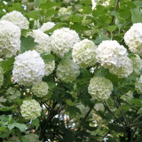 Viburnum opulus 'Roseum' - bulgaras de zapada, Boules de neige
