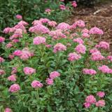 Spiraea bumalda – cununita rosie