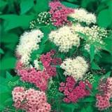 Spiraea japonica Genpei - cununita