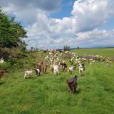 100 de capre cu lapte - Oi/capre