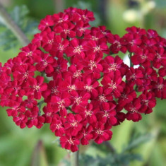 Achillea Red Velvet - coada soricelului rosie