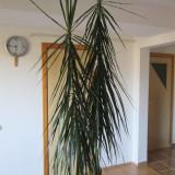 Plante ornamentale - Vand dracena 2.5 m
