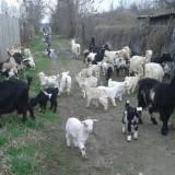Oi/capre - Capre cu iezi + 2 tapi