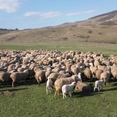 Oi/capre - De vânzare oi cu miei