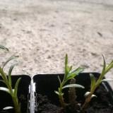 Plante ornamentale - Tarhon la ghiveci