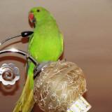 Vand papagal Micul Alexandru verde si colivie
