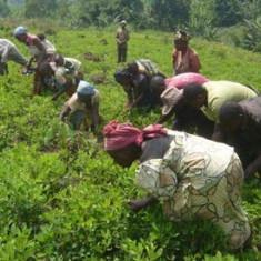 Seminte rare de Fasole de Congo - 3 seminte pt semanat