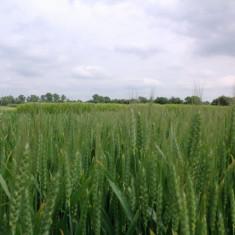 Sămânță certificată de grâu ( Glosa și Solehio )