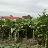 Seminte de tutun VIRGINIA