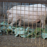 Porci Vietnamezi - Rase porci