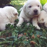 Labradori adorabili cauta stapan - Caine, Gen: Mascul