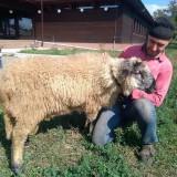Berbec - Oi/capre