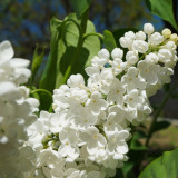 Liliac parfumat alb, plante cu radacina nuda, super oferta