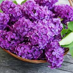 Liliac parfumat mov, plante cu radacina nuda, super oferta
